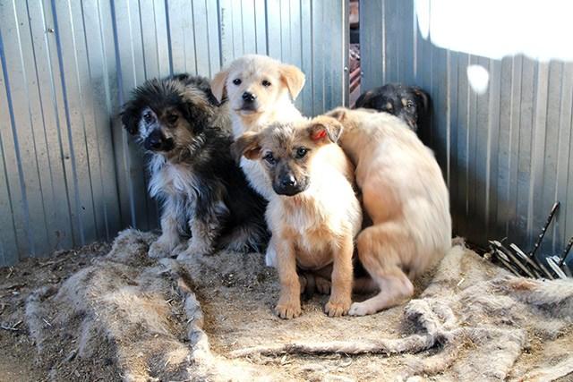 Abgemagert, verwahrlost und ängstlich fanden die Tierschützer die sechs kleinen Welpen vor. Dank ihrer intensiven Pflege konnten alle überleben und gedeihen prächtig.