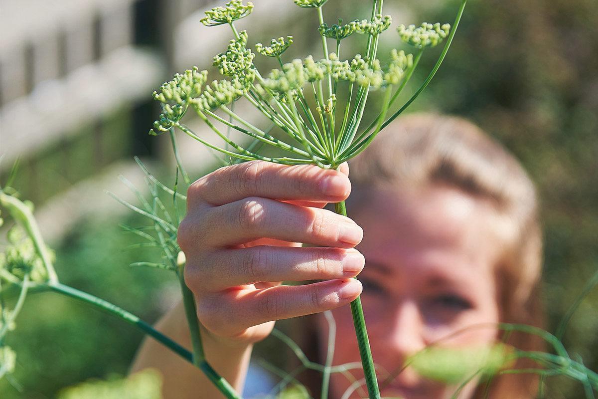 Die Kräuter für LaVita werden in Arzneibuchqualität angebaut.