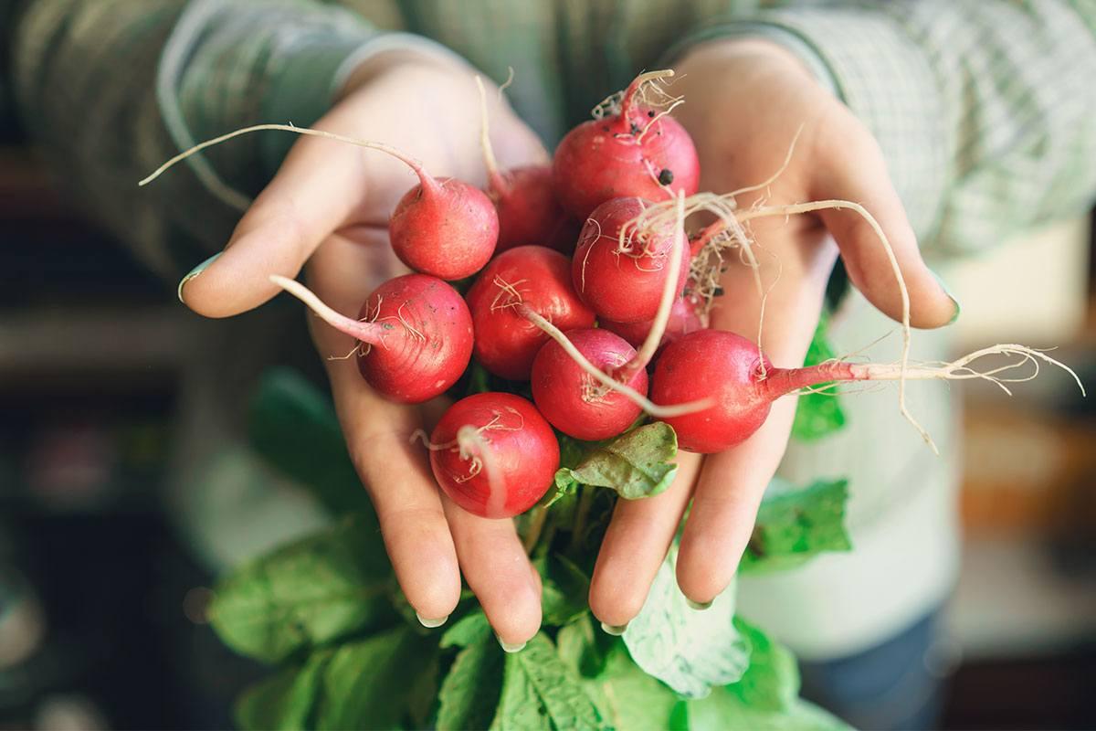 Gemüsebeet anlegen und reiche Ernte einfahren: Radieschen sind schon nach kurzer Zeit erntereif.