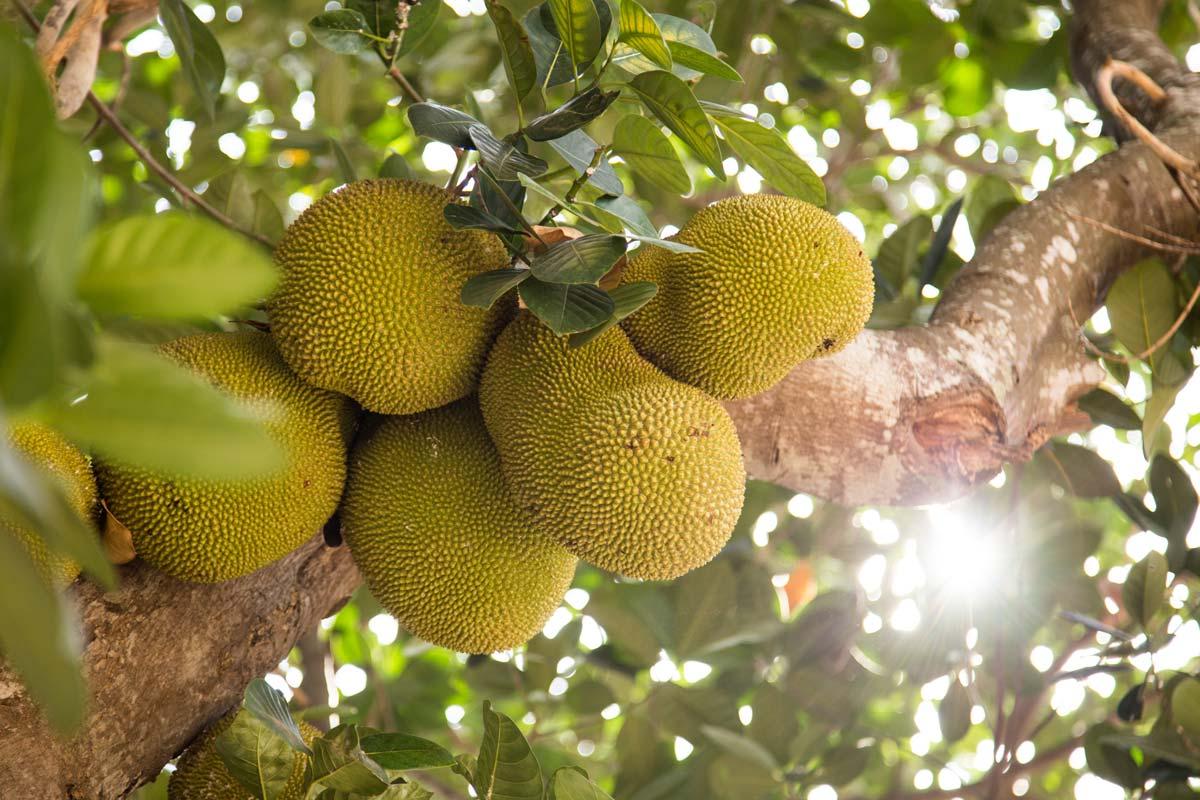 Die Frucht aus den Tropen schemckt nicht nur pur, sondern auch als Fleischersatz..