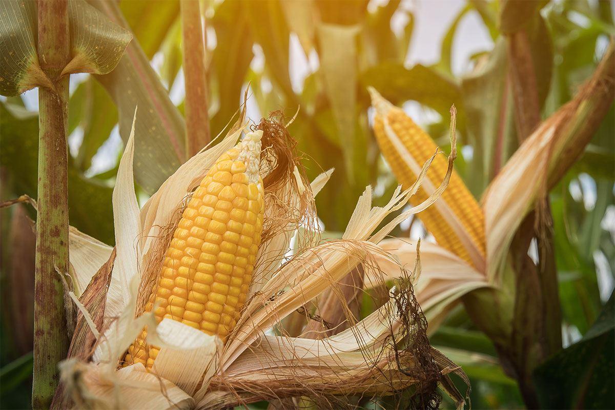 Maissirup - so schädlich ist der billige Industriesirup