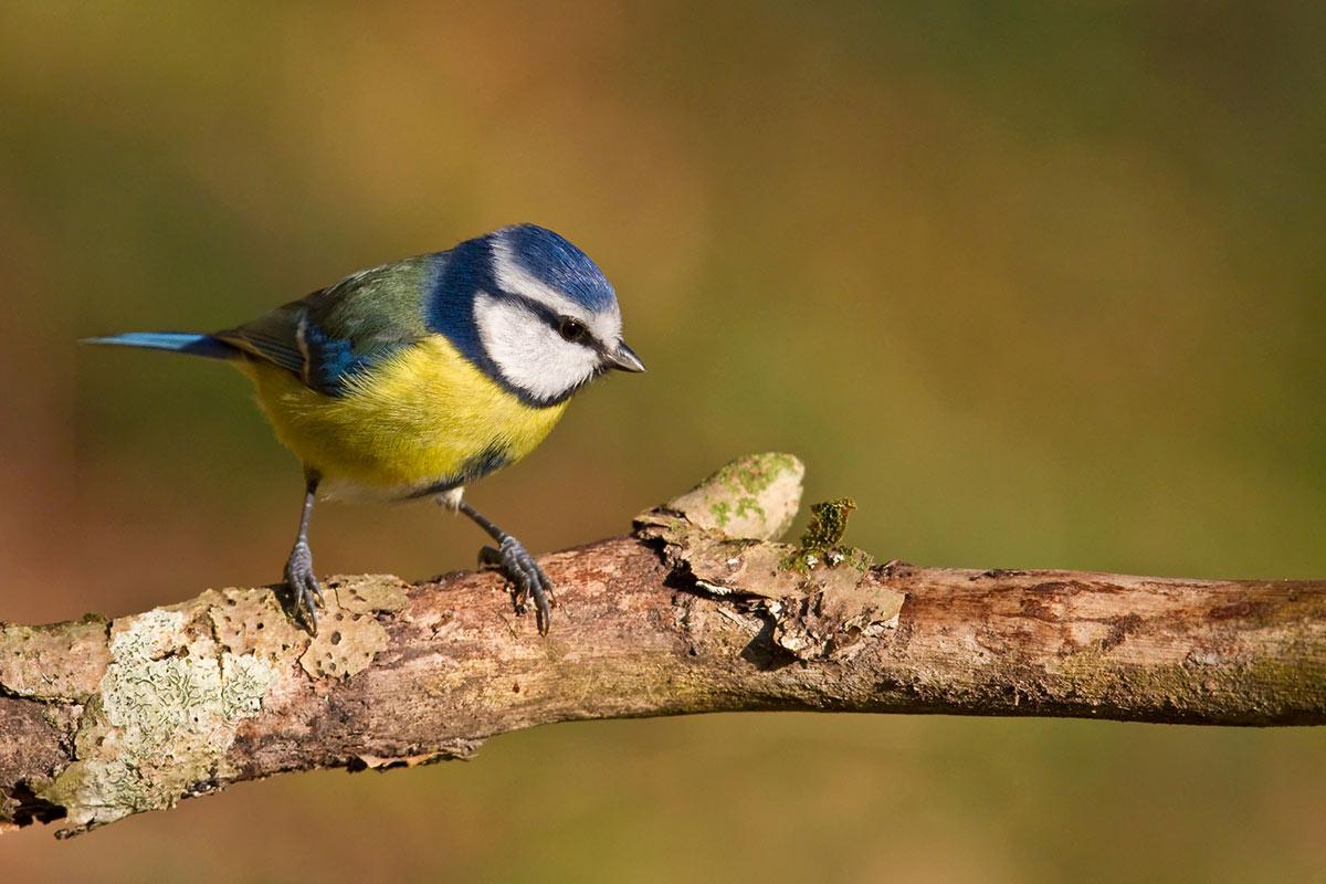 Ohne Meisenknödel finden viele Vögel nicht mehr genug Futter.
