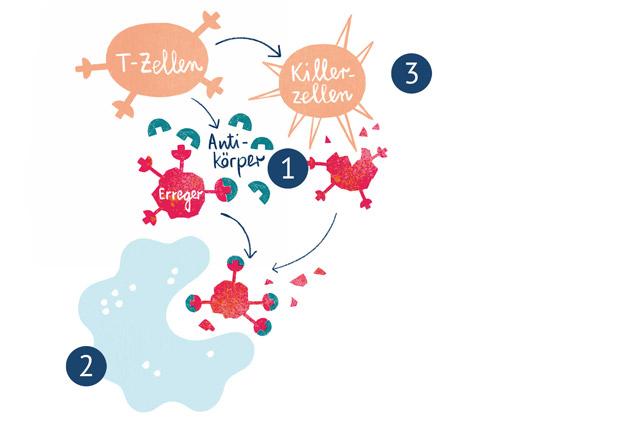 Die spezifische Immunabwehr