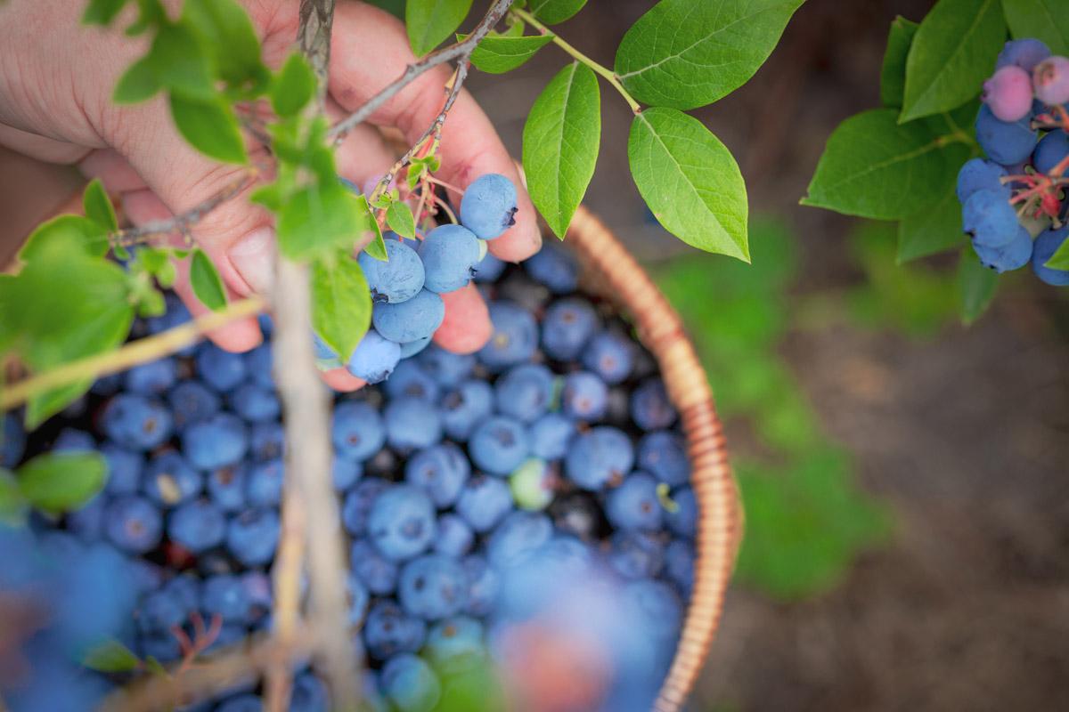 Beeren zählen zu den gesündesten Obststorten überhaupt.